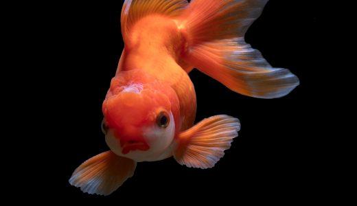 浮いていた金魚と、子どもたちとの有限の時間